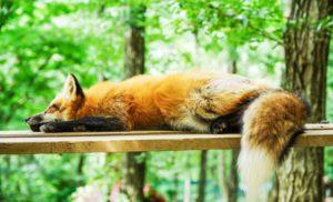 仮眠を摂っている狐の画像